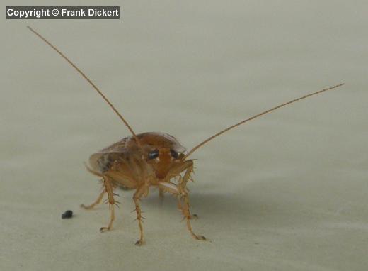 k chenschabe waldschabe brauche dringend hilfeeeeeeee haus insekten ungeziefer. Black Bedroom Furniture Sets. Home Design Ideas