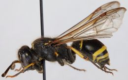 Ancistrocerus parietinus